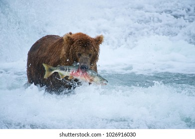 American Brown bear/Grizzly bear (Ursus arctos horribilis), McNeil River Sanctuary, Alaska