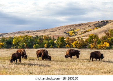 American buffalo / bison herd grazing in Custer State Park, South Dakota