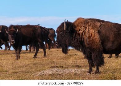 American Buffalo Bison Migration Badlands National Park South Dakota