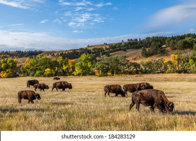 American buffalo herd in Custer State Park, South Dakota, USA
