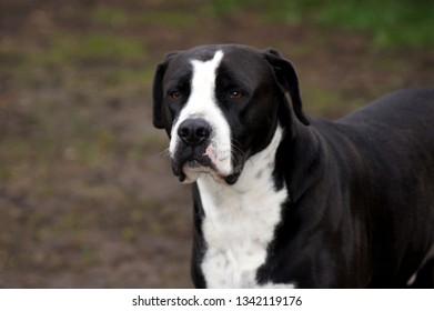 American Bulldog with black Fur