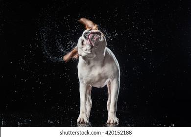 American Bulldog, dog Motion in the water,  aqueous shooting