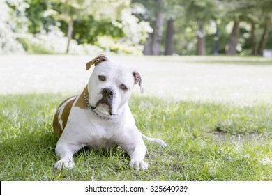 American Bulldog laying on the grass