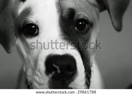 American Bulldog Puppy Stock Photo Edit Now 29861788 Shutterstock