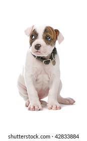 American Bulldog puppy dog isolated on white background