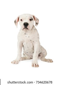 American Bulldog puppy (four months old) sitting on white background