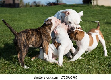 American Bulldog puppy with mother are playing with love on nature. The American bulldogs are well built, strong-looking dog, with a large head and a muscular build.