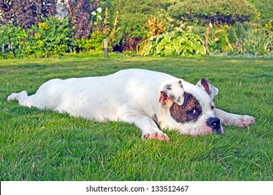 american bulldog relaxing and sprawling on the grass