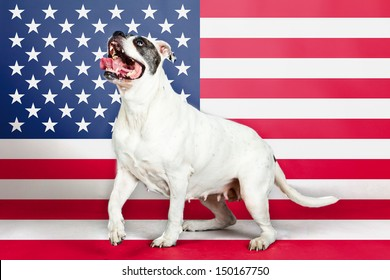 American bulldog with US flag in as background.