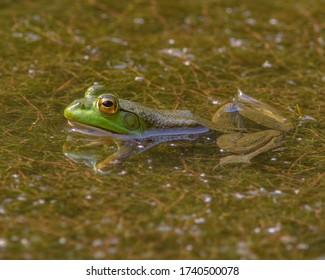 American Bullfrog floating in a pond in Southwestern Ohio