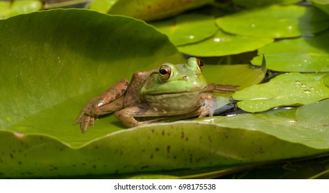 American bullfrog (lithobates catesbeianus) sitting on a water lily pad