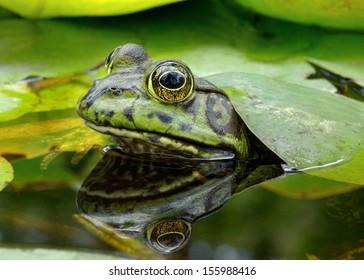 An American Bullfrog. Photo taken in Southern California, USA.