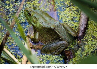 An American Bullfrog at rest in a pond