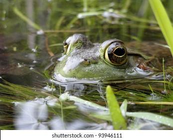 American Bullfrog resting in a New England swamp