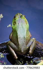 An American Bullfrog sitting on a rock in a pond