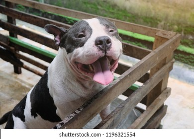 American Bully Dog Images, Stock Photos & Vectors | Shutterstock