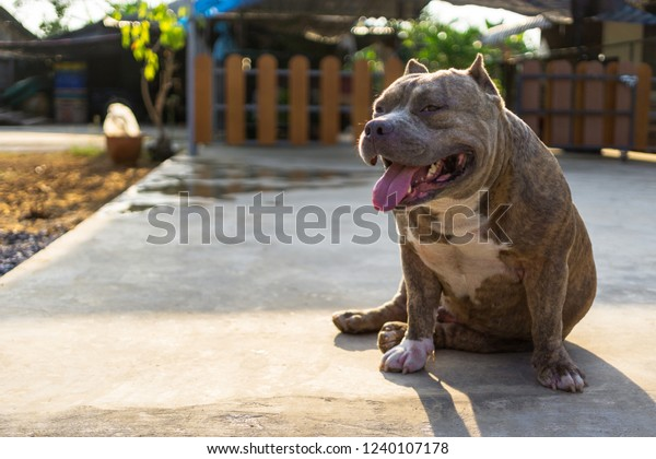 American Bully Dog Breeds Blue Brindle Stock Photo (Edit Now