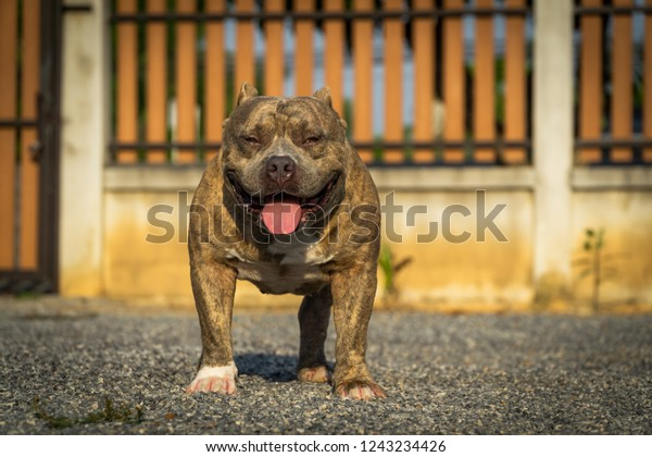 American Bully Dog Breeds Blue Brindle Stock Photo (Edit Now) 1243234426