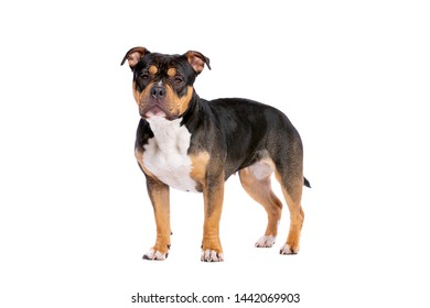 American Bully dog in front of a white background