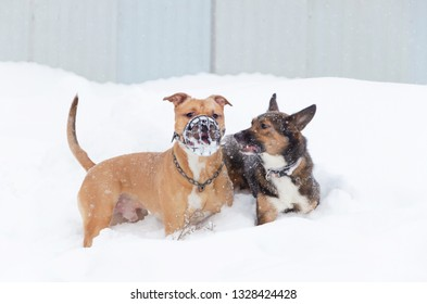 The American Bully.  Dogs play with each other. Walking outdoors in the winter.  How to protect your pet from hypothermia.