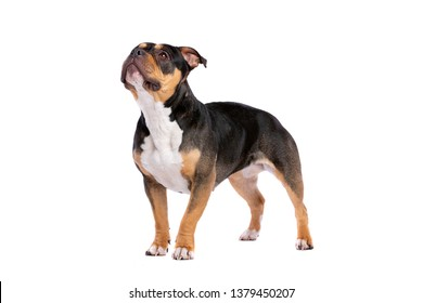 American Bully in front of a white background