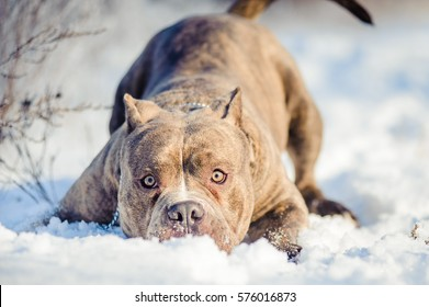 Bully Dog Images, Stock Photos & Vectors | Shutterstock