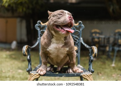 American bully on seat looking cute., Thailand