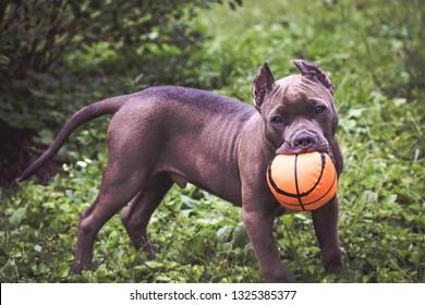 American Bully Pup
