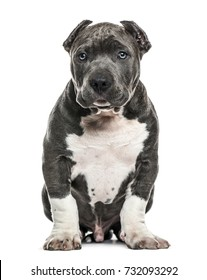 American Bully puppy sitting, isolated on white