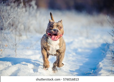 American Bully is running in the snow