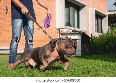 American Bully standing on grass