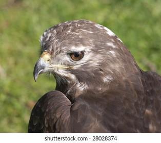 american buzzard