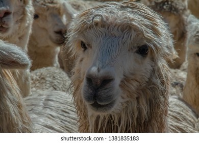 AMERICAN camelids from Cusco, Peru