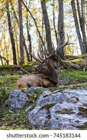 American or Canadian Elk shot in late autumn with fall colors in north Quebec Canada. - Shutterstock ID 745183144