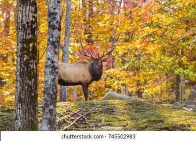 American or Canadian Elk shot in late autumn with fall colors in north Quebec Canada.