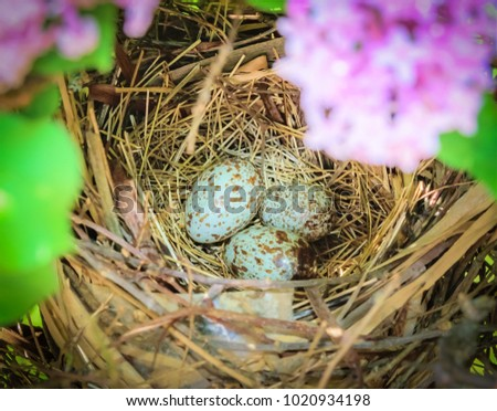 American cardinal eggs in nest-Urban wildlife photography