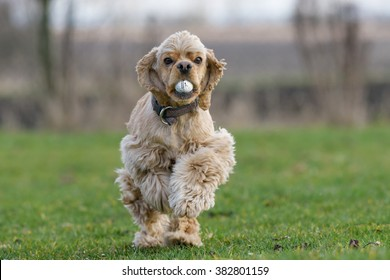 American cocker spainel running with a golf ball in its mouth