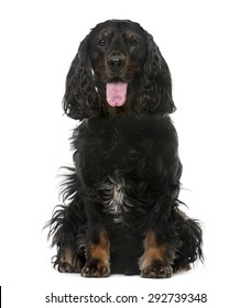 American Cocker Spaniel (4 years old) in front of a white background