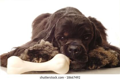 american cocker spaniel chewing on doggy bone