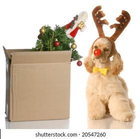 american cocker spaniel dressed up as rudolph sitting beside christmas tree that is packed up in a box