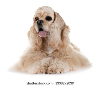 american cocker spaniel in front of white background