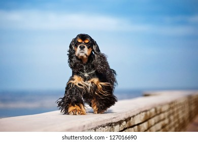 american cocker spaniel goes on sky background