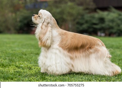 American cocker spaniel on green grass