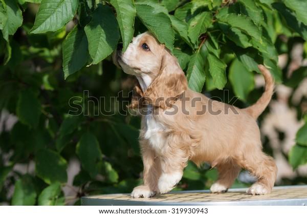 american cocker spaniel puppy posing outdoors
