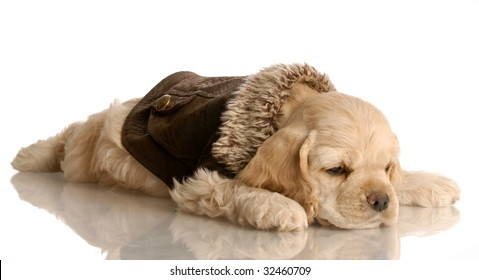 american cocker spaniel puppy resting wearing brown leather jacket