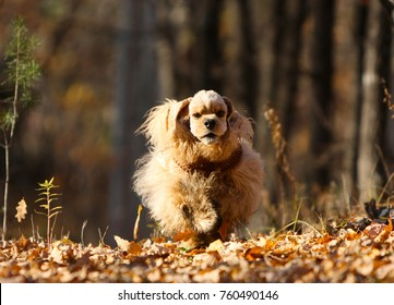 American Cocker Spaniel runs in the autumn forest. An active dog moves on the nature in the park. Redhead puppy jumping on leaves. Horizontal image.