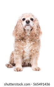 American Cocker Spaniel sitting in front of a white background