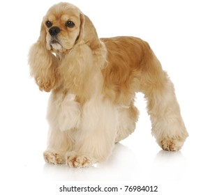 american cocker spaniel standing with reflection on white background - 3 years old
