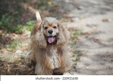 American cocker spaniel stuck out his pink tongue on a walk in the autumn park