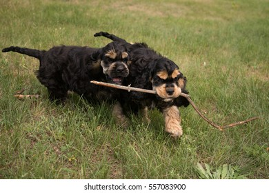 American cocker spaniels are being walked in a park and playing with stick